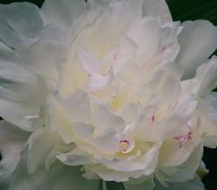 Peony (vbd) Tags: white flower macro pentax connecticut ct peony 2009 manualfocus janetsgarden vbd k200d summer2009 asahismcpentaxm50mmf17