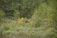 Wandeltocht Buurse 04-05-2014 (marcelwijers) Tags: veen het witte buurse wandeltocht gebied 04052014