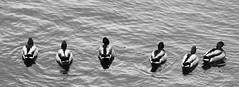 Ducks in a Row (imageClear) Tags: light bw nature water birds wisconsin river dark nikon flickr wildlife ducks row telephoto sheboygan photostream afs mallards contras 80400mm lined d7000 imageclear