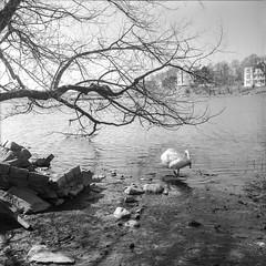 Swan Bay 1 (Juha Halmu) Tags: sea tree finland swan helsinki shore rodinal töölönlahti standdevelopment rolleiflex35f bw200