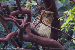 Brown Fish Owl (Johannes D. Mayer) Tags: bird birds turkey aves trkei vgel eulen brownfishowl ketupazeylonensis bubozeylonensis wellenbrustfischuhu fischuhu oymapinarstausee