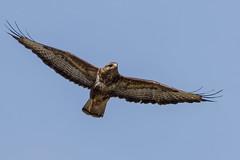 Buzzard (GaseousClay1) Tags: bird nature wildlife buzzard habitat avian buteobuteo birdofprey plumage birdinflight worcestershirewildlifetrust