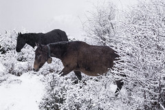 Horses in the snow (Francesco Grisolia) Tags: horses mountain snow trekking high nikon adventure neve montagna cavalli highaltitude avventura altidude horsesinthesnow cavallinellaneve