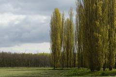 De Groene Kathedraal (JaapFoto) Tags: sun tree clouds landscape spring poplar cathedral outdoor populier wolken sunny flevoland almere flevopolder groenekathedraal