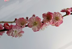 flora (jumbokedama) Tags: roses bees fullmoon cherryblossoms camellia bumblebees wisteria japaneseroses plumblossoms japaneselanterns japaneseflowers moonpictures beesonflowers japanesescenery viewsofjapan rosesofjapan