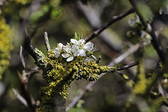 Old And New - 52WFND, 19/52 (me'nthedogs) Tags: blossom lichen hawthorn 1952 52weeksfornotdogs