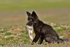 DB6_0227 (DouglasJB) Tags: bunny nature animals cuddly fields foxes yawning redfox cuteanimals djbphotocom nikonafsnikkor300mmf28gedvrii
