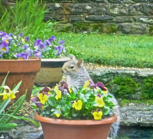 A visiting squirrel sitting on a pot of violas by Andre Thomas