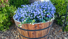 Barrel of Flowers (J.L. Ramsaur Photography) Tags: flower nature flow outdoors photography whiteflower photo g4 landscaping tennessee barrel pic lg photograph thesouth shrubs riverrock cumberlandplateau blueflower cookeville 2016 putnamcounty cookevilletn middletennessee halfbarrel cookevilletennessee ibeauty tennesseephotographer woodbarrel southernphotography screamofthephotographer jlrphotography photographyforgod engineerswithcameras godsartwork naturespaintbrush jlramsaurphotography cookevegas lgg4 barrellofflowers