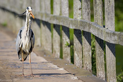 Heron versus eel (Kernomore) Tags: camera light lake holiday building bird heron nature weather animal wales landscape countryside spring afternoon pentax outdoor country sunny event frame type pembrokeshire brigde k1 original2x3012x302ratio1505ish
