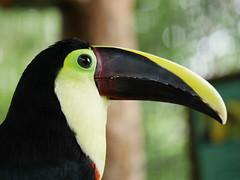 P1130536 (lychee_vanilla) Tags: bird animal garden toucan costarica lapaz tier waterfallgarden tucn blackmandibledtoucan ramphastosambiguus vigel quioro tucnpiconegro