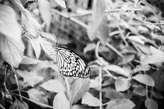 Stratford-Upon-Avon Butterfly Farm (Simon Clare Photography) Tags: blackandwhite bw white black macro nature monochrome animal contrast butterfly bug insect mono pattern farm wildlife tones stratford stratforduponavon buttery butterflyfarm
