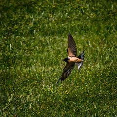 Hard Right (Portraying Life) Tags: bird unitedstates michigan handheld panning closecrop nativelighting