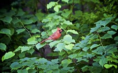 red bird (Litratistica Images NYC) Tags: camera nyc newyorkcity red usa newyork tree green bird nature prospectpark streetphotography chick birdsnest redbird streetphotographer canon70200 canoneos5d earldolphy litratisticaimages cherrydolphy