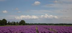 Purple carpet (peeteninge) Tags: flowers nature flora purple outdoor natuur flowerfields bloemen paars