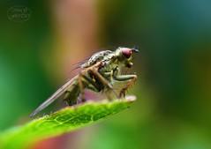 Ready for take off (MaiGoede) Tags: macro nature fauna fly nikon natur natura makro fliege naturfoto