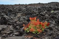 LavaFlowers_2016Lanzarote (Rudy WTK) Tags: flowers lava lanzarote canarias espana timanfaya canarie d5100
