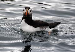 Puffin (Chris Kilpatrick) Tags: chris sea bird nature water animal canon wildlife puffin boattrip isleofman portstmary irishsea canon60d