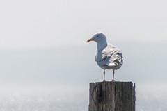 Who? Me? (Mac ind g) Tags: bird beach walking spring unitedkingdom gull gb larusargentatus herringgull stevenston northayrshire