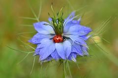 DSC_8772 (sylvette.T) Tags: blue red flower macro ladybug coccinelle 2016 nigellededamas