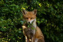 Vixen (Brent Hardy) Tags: fox vixen vulpesvulpes bbcspringwatch nationalgeographicwildlife myspring wildlife canonef400mmf56lusm uk canon6d sheffield