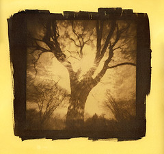 WPPD Tree (Cyanotype) (DRCPhoto) Tags: world camera 6x6 photography day tea pinhole cyanotype toning 2016 wppd digitalnegative altprocess alternativeprocesses ondu antiquarianprocesses