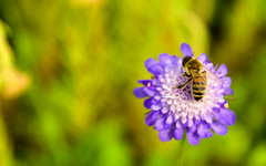 Bee on a flower (DrQ_Emilian) Tags: light plant flower color detail green nature yellow closeup insect flora purple natural bokeh small bee