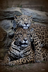 togetherness (judecat (it's all in the Nature of things)) Tags: nature zoo wildlife jaguar lucha kanga philadelphiazoo jaguarcub