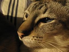 FeiFei long nose (fossfor) Tags: blue cats pets cat eyes siamese kittens feifei