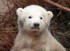 ijsbeer rhenen IMG_0294 (j.a.kok) Tags: bear beer zoo polarbear ijsbeer dutchzoo