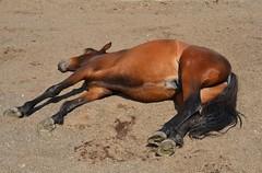 Nap time for Trooper part IV (Trooper's Diary) Tags: trooper australia maeleesun huntervalleybrumbyassociation australianbrumby wildhorsejournal wildhorsenews wildlifenews wildhorseresearch