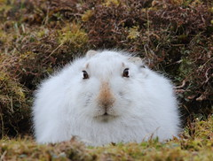 Mountain Hare (Lepus timidus) 8897 (Highland Andy (Andy Howard)) Tags: park winter mountain cute nature scotland hare wildlife images highland national cairngorm lepus timidus mountainhare