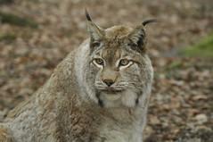 Lynx portrait (PimGMX) Tags: portrait cat los feline porträt predator captive portret lynx luchs roofdier raubtier eurasianlynx lynxlynx euraziatischelynx eurasiatischerluchs eurasiatieserooikat