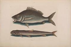 Anglų lietuvių žodynas. Žodis soapfish reiškia <li>soapfish</li> lietuviškai.