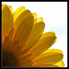 A little sunshine goes a long way (Lynn McFulton) Tags: flower sunshine yellow gerbera highkey 3652012 2010yip