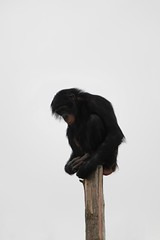 Lonely (GraphicReality) Tags: sky white canon solitude air stump lonely chimpanzee twycrosszoo 550d