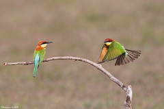 Chestnut-headed Bee-eater (Merops leschenaulti) @ Khao Yai National Park, Thailand_20120312_0552 (LawrenceNeo) Tags: chestnutheadedbeeeater