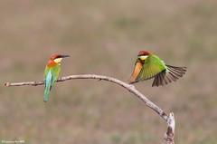 Chestnut-headed Bee-eater (Merops leschenaulti) @ Khao Yai National Park, Thailand_20120312_0552 (LawrenceNeo) Tags: chestnutheadedbeeeater