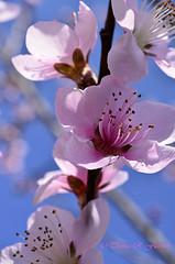 Peach Tree Blossom (travelphotographer2003) Tags: pink usa flower green ecology spring bright birth blossoms westvirginia livestock freshness appalachianmountains purity newbeginning alleghenymountains beautyinnature webstercounty peachtreeblossoms thomasrfletcher