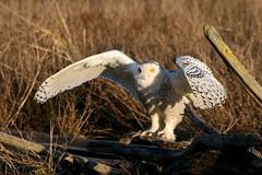 Snowy Owl (Paridae) Tags: owls birdsofprey snowyowl buboscandiacus birdsofboundarybay snowyowllanding
