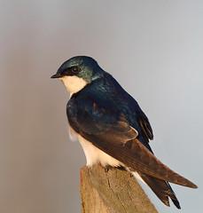 Tree Swallow (Canonshooterman) Tags: specanimal birdperfect