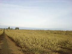 3248 filbert pollen january (growing hazelnuts) Tags: filbert orchards