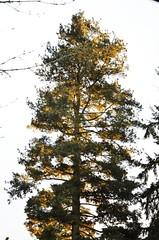 On Fire (mk1gti) Tags: trees sunset tree pinetree treeonfire