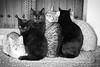 6 Moixos (Juan Antonio Capó) Tags: animal cat kat feline chat fuji gato felino fujifilm katze mace 猫 gatto kot gat kočka kedi kissa köttur mačka kucing x10 pusa mèo moix گربه кошка 고양이 minino γάτα мачка котка pisică แมว قط кішка 잭 קאַץ िल्ली fujifilmx10 fujix10 חתולվալետ planiciaestellencsmallorca