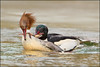 Rude Awakening (hvhe1) Tags: food male nature water animal female fight bravo wildlife frog awd mergusmerganser kikker ranatemporaria goosander fourage bruinekikker specanimal hvhe1 hennievanheerden avianexcellence grotezaagbek birdwaterfowl