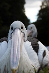 """Gandalf"" (CC) (marfis75) Tags: white bird animal wasser pelican gandalf fisher weiss fischer tier vogel schnabel pelecanus wasservogel weis pelecanidae plican pelikane ccbysa marfis75 pelekys"