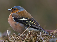 Ranworth_Chaffinch 366 day 49 (Geographyman) Tags: bird nature wildlife chaffinch norfolkbroads 366 canon70300mml