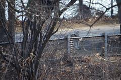 DSC_0048 (rlg) Tags: dog animal female mammal sunday wheatenterrier february 19 2012 kaili fpr 0219 201202 nikond5100 20120219 02192012