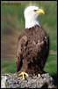 AGUILA USA -Alvaroking81- (Alvaroking81) Tags: usa naturaleza nature animal zoo pico pajaro estadosunidos aguila casadecampo plumas garra zoologico trueexcellence1 alvaroking81