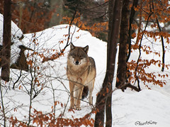 Lupo (Canis lupus)/Wolf. (Chiar@Love [ON-OFF]) Tags: wolf wolves lupo foresta bayerischerwald canislupus forestabavarese